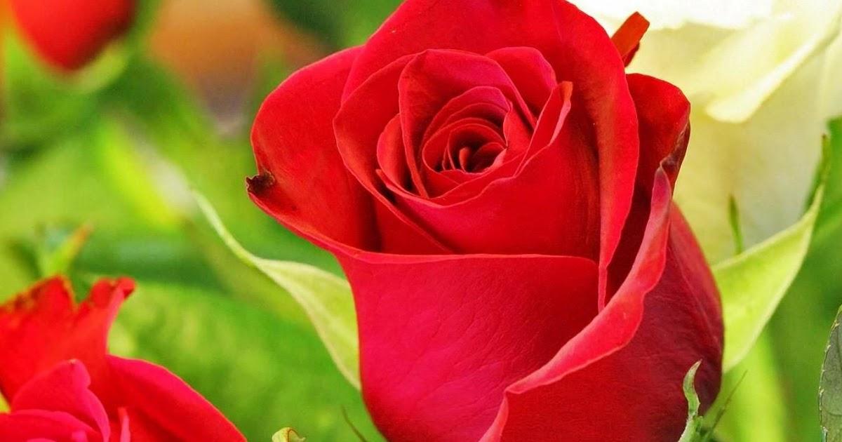 Koleksi Terkini 26 Gambar Bunga Mawar Untuk Wallpaper