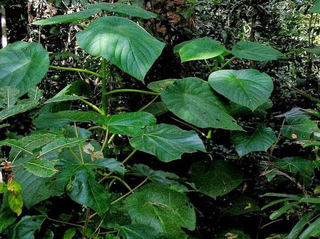 Pernahkah anda mendengar nama flora Gympie Tanaman Paling Beracun di Dunia Ini Ada di Indonesia