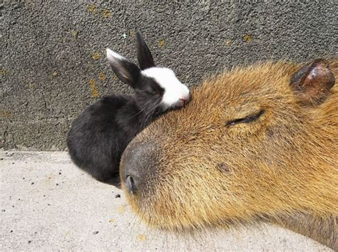 Why Do Animals Like Capybaras So Much? (18  Pics)   Bored Panda