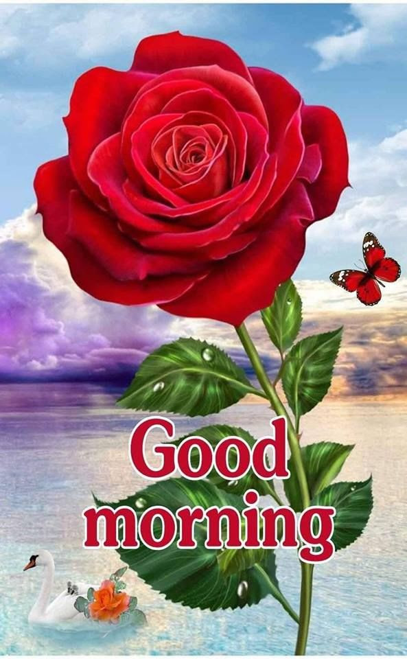 Big Red Rose Good Morning Image Pictures Photos And Images For