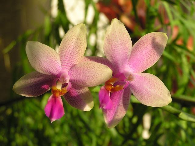 Phalaenopsi 'Liodoro'
