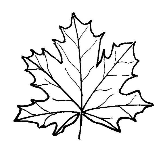 Easy Maple Leaf Drawing at GetDrawings | Free download