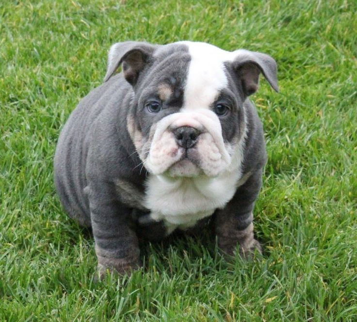 Blue Frenchie: French Bulldog Puppies for Sale | Arkansas