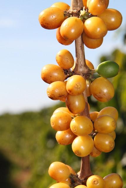 O café é uma das culturas mais beneficiadas pelas algas - Crédito Miriam Lins