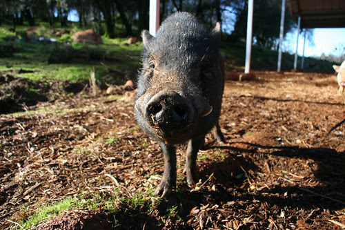 Frank the Potbellied Pig