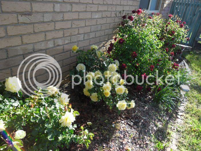 photo roses4_zps306d6f61.jpg