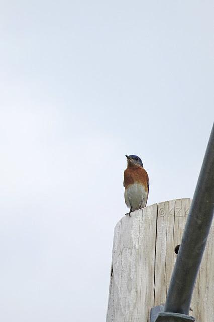IMG_4454EasternBluebird