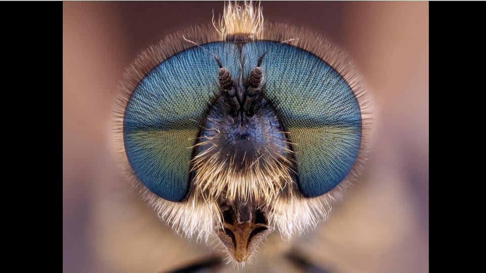 Μια μύγα στρατιώτης, όπως φωτογραφήθηκε από έναν από τους φιναλίστ στο διαγωνισμό Olympus 2012