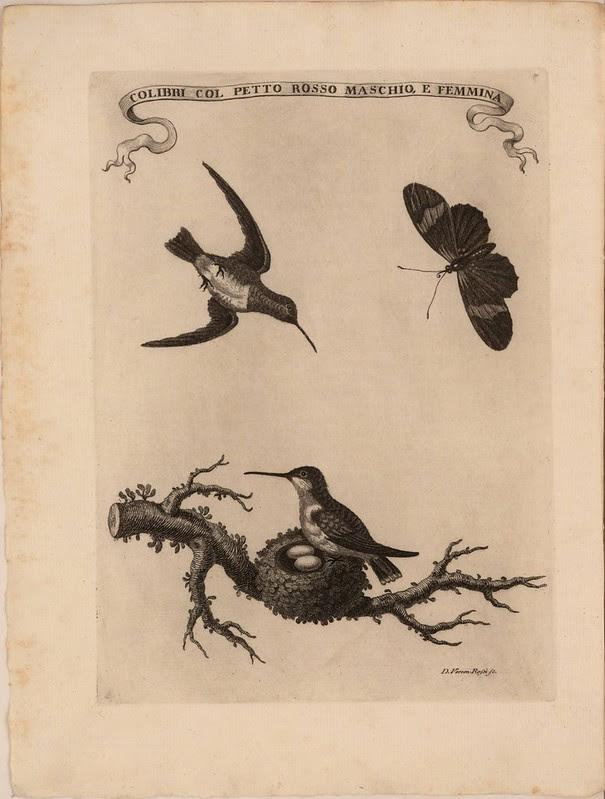 Colibri col petto rosso maschio, e femmina
