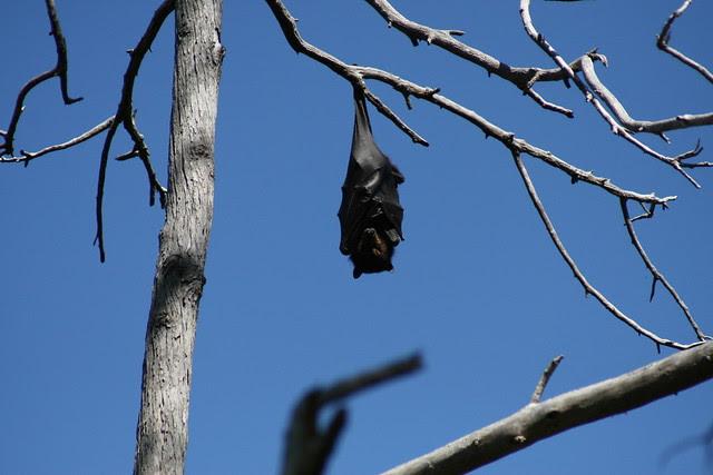 Friut Bat