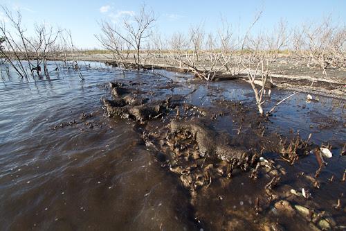 oiled algae on Grand Terre, Louisiana