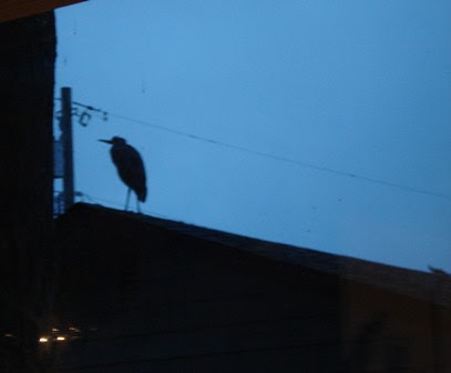 heron visits the neighborhood 12_16