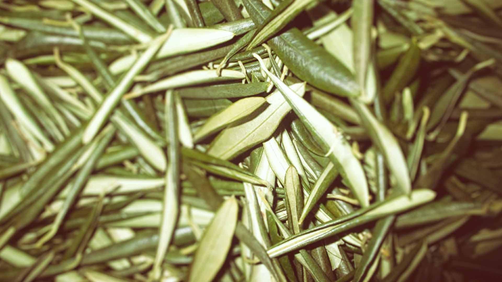 Ancestorsearth Olive Leaves