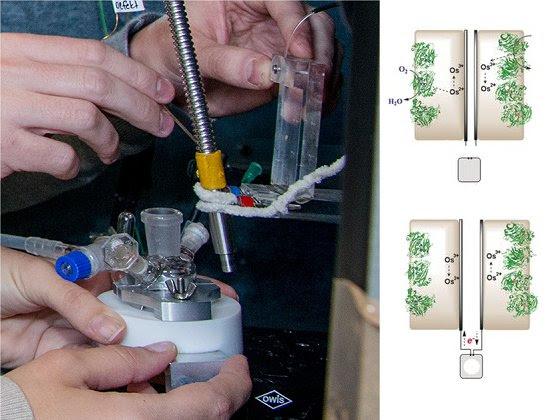 Biocélula a combustível gera e armazena eletricidade