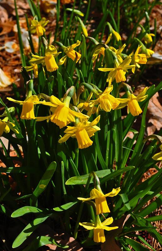 Narcissus Wednesday (3)
