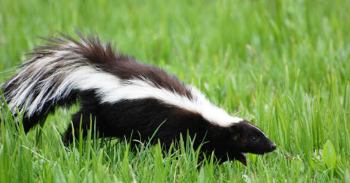 46+ How Do You Get Rid Of Skunks In Your Backyard Images ...