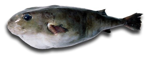 Resultado de imagen de Sphoeroides pachygaster