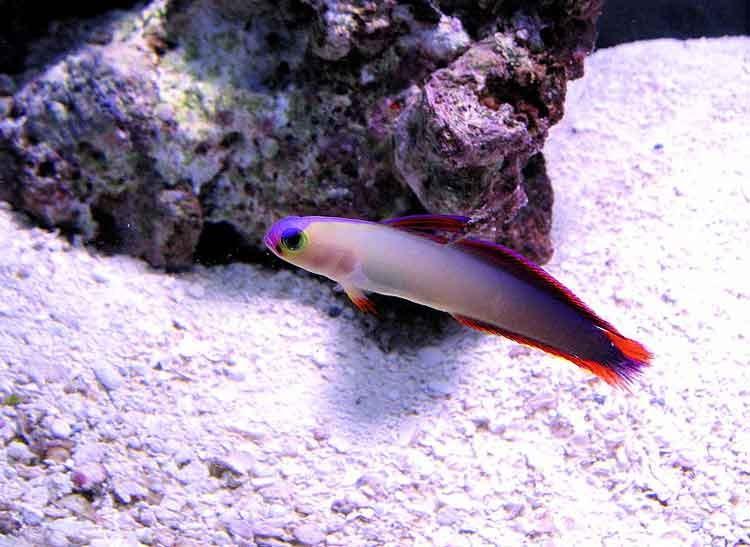 Jenis Jenis Ikan Hias Air Laut