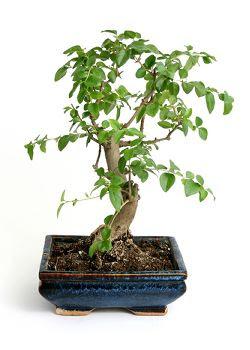 Bonsai Of Miniatuurboompjes Soorten En Onderhoud Klimaat Bonsai In De Tuin Bonsai In Huis Bonsai Bemesten