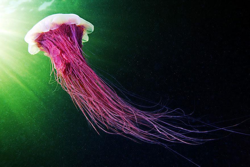 underwater-jellyfish-alexander-semenov-aquatis-3-2
