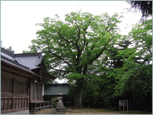 76 amazing huge keyaki tree