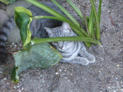 Maya in the hostas