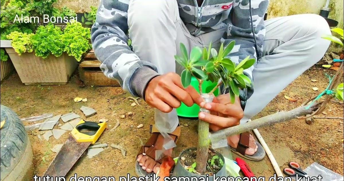 okulasi bonsai kimeng