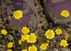 yellow pincushion - chaenactis glabriuscula