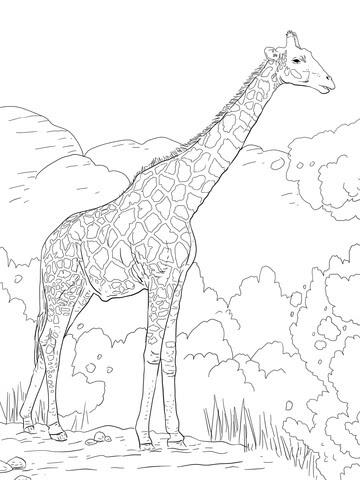 ausmalbilder kostenlos tiere giraffe