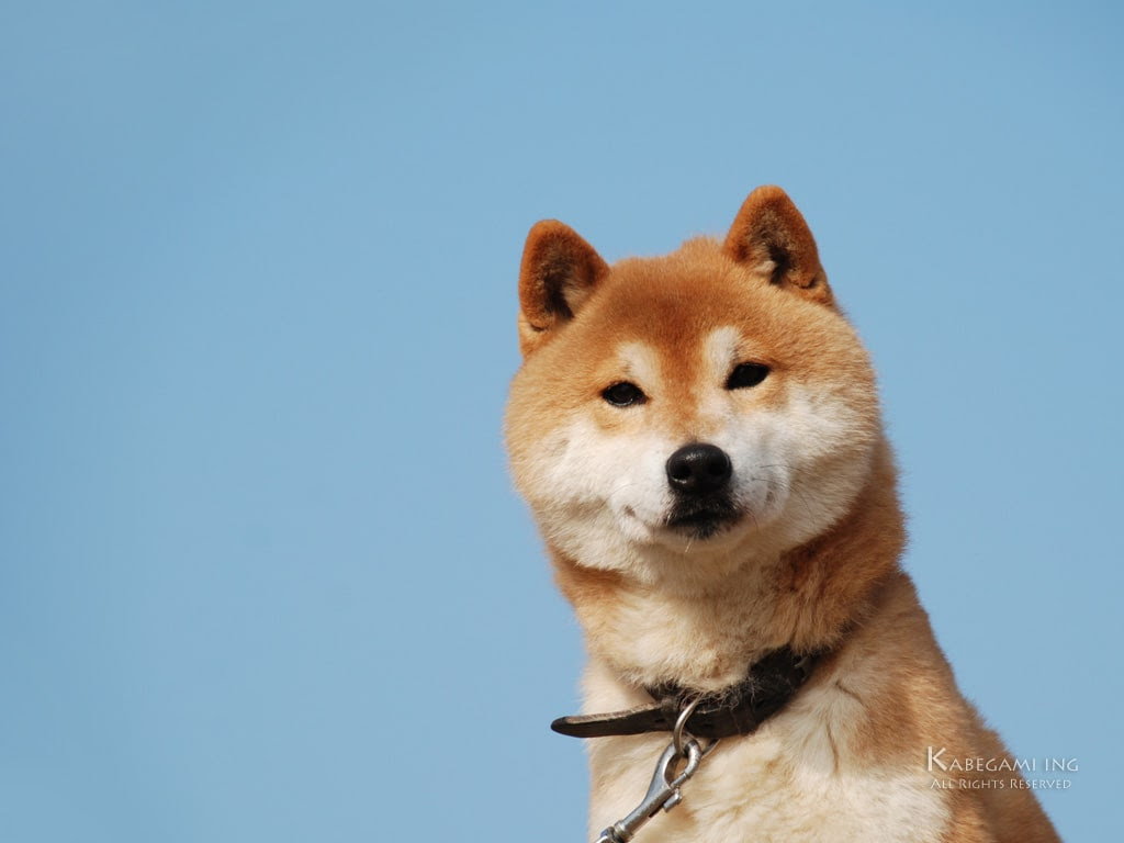 カメラ目線の柴犬茶太郎 壁紙ing管理人の写真ブログ 柴犬の壁紙