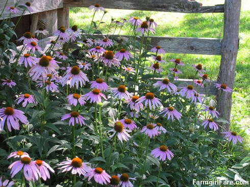 (3) Echinacea (purple coneflower) is my favorite flowering perennial - FarmgirlFare.com