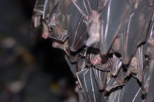 Huddled Bats