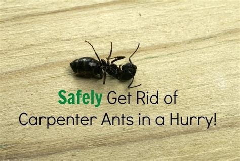 Pictures black widow spider, repel carpenter ants, ant baits home depot, how to get rid of