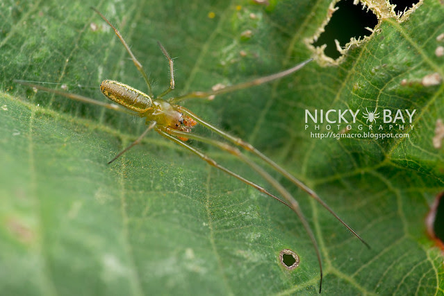 Big-Jawed Spider (Mesida sp.) - DSC_1451