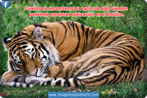 Frases De Tigre 44 Frases