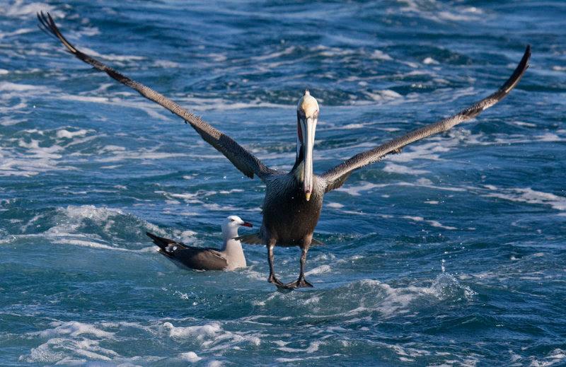 pelican photobomb