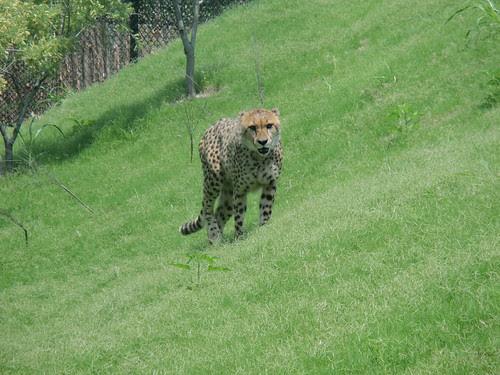 Cheetah Walking towards us