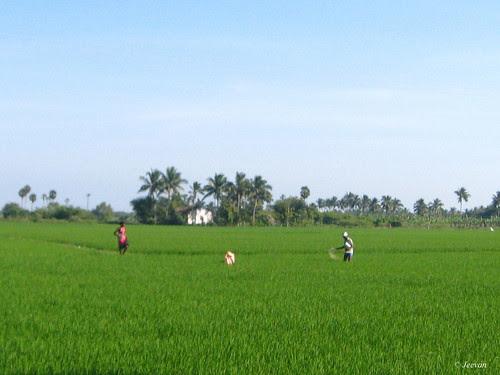 Paddy field fed on fertilizer