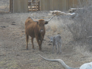 New Longhorn Bull Calf Manolito