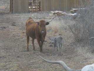 New Longhorn Bull Calf Manolito