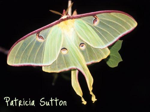 Luna Moth w-sig