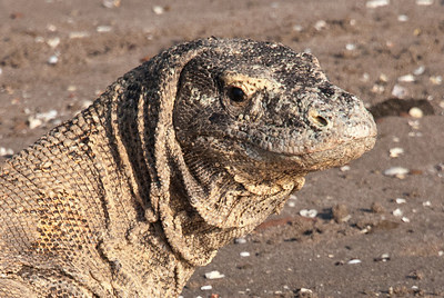 Komodo Dragon.The fearsome Komodo Dragon is the dominant predator on Rinca Island in Komodo National Park, Indonesia.An endangered species, there are only 3,000 to 5,000 dragons in the wild throughout the world.