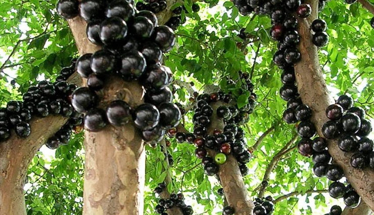 Health tips,healthy fruits,5 amazing health benefits of jabuticaba fruit,jabuticaba fruit health benefits