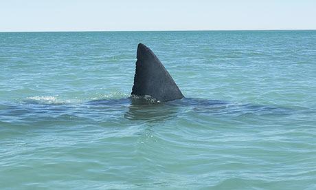 Fin of great white shark