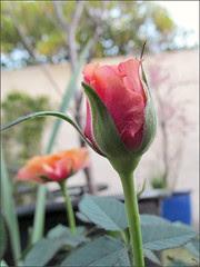 Parade rosebud