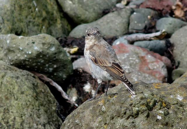24584 - Wheatear, Isle of Mull