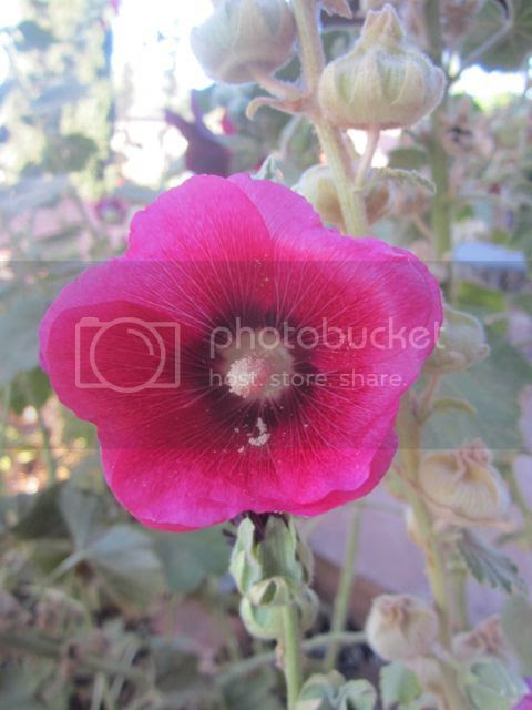 Hollyhock in Sedona photo Sedonahollyhock_zps74a1ca48.jpg