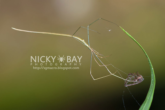 Whip Spider? (Ariamnes flagellum) - DSC_7265