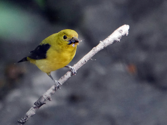 Ed Gaillard: birds &emdash; Scarlet Tanager and lunch, Central Park