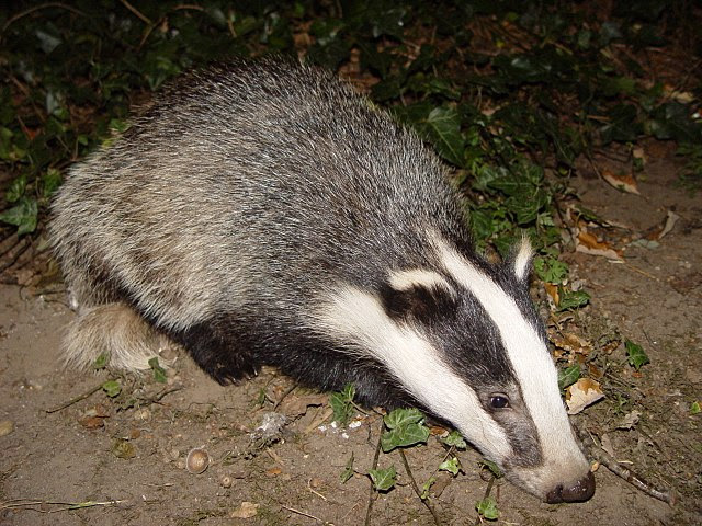 http://upload.wikimedia.org/wikipedia/commons/thumb/1/10/Badger-badger.jpg/640px-Badger-badger.jpg